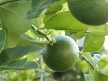 Green limes on a tree. Close up shoot of lime on a lime tree. Green limes on a tree stock photos