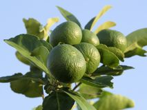 Green limes on a tree. Close up shoot of lime on a lime tree, Green limes on a tree stock photography