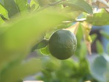 Green limes on a tree. Close up shoot of lime on a lime tree, Green limes on a tree royalty free stock photos