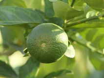 Green limes on a tree. Close up shoot of lime on a lime tree, Green limes on a tree royalty free stock photo