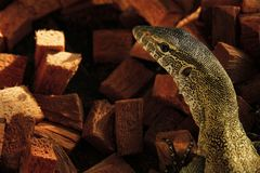 Close up shoot of nile monitor& x27;s head royalty free stock photo