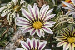Free Close Up Shoot Of Treasure Flower &x28;Gazania Rigens Stock Photo - 158191180
