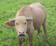 Close up shoot of a water buffalo standing on green grass Stock Photo