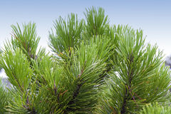 Close-up of a Shore Pine Stock Photography