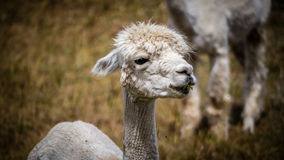 Close-up of a shorn white llama. A white llama, recently shorn, stares in the distance as he stands on a field of grass on a farm Royalty Free Stock Images