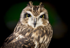 Close up of short eared owl. Royalty Free Stock Photos