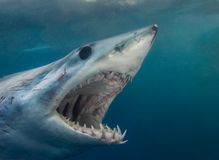 Close up of a short finned mako shark stock photos