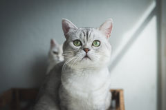 Cat sitting and looking on old wood shelf. Close up short hair cat sitting and looking on old wood shelf royalty free stock photos