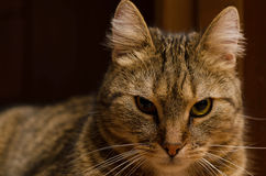 Close-up of a short-haired cat Royalty Free Stock Image
