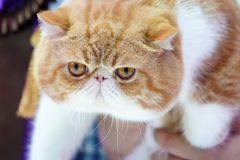 Close up the short Persian cat face short nose and  brown orange hair with the tiger pattern on it stock image