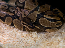 Close up short of python snake focus on it head and eye and blur Royalty Free Stock Photography