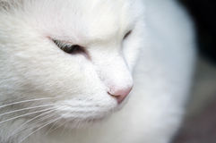 Close-up of shorthair white cat. Face macro Royalty Free Stock Photography