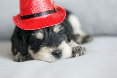 Schnauzer puppy with Christmas hat. Close up shot on the adorable face of a  cute miniature schnauzer puppy wearing a small Christmas hat Royalty Free Stock Photography