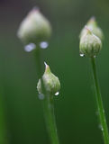 Allium flower buds Royalty Free Stock Image
