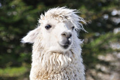 The close-up shot of the Alpaca Royalty Free Stock Photography