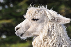 The close-up shot of the Alpaca Royalty Free Stock Photo
