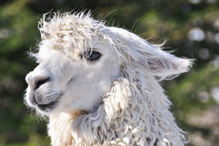 The close-up shot of the Alpaca Stock Images