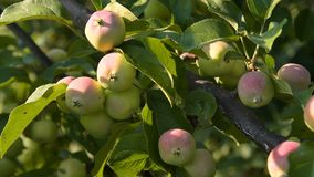 Branch of apple tree with fruit. Close-up shot of apple tree branch with many unripe fruit in the light of sunset stock video
