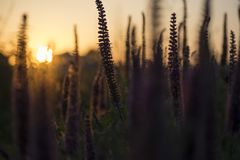 Close-up shot of dark silhouette vibrant purple herbs in full blooming at sunset. Nature concept background stock image