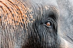 Close-up shot of Asian elephant eye Stock Photos