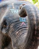 Close-up shot of Asian elephant head Stock Images
