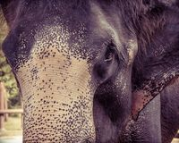 Close-up shot of Asian elephant head Stock Photo