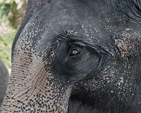 Close-up shot of Asian elephant head Royalty Free Stock Image