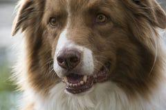 Close-up shot of an australian shepherd dog Stock Image