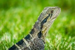 Close up shot of an Australian water dragon Intellagama lesueurii stock photos
