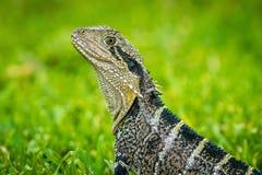 Close up shot of an Australian water dragon Intellagama lesueurii royalty free stock images