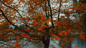 Close-up shot of Autumn Fall Multicolor leaves stock video