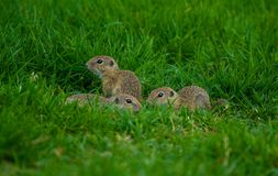 Close up shot of baby gophers sitting on the grass. Baby gophers going out the burrow for the first time royalty free stock photos