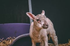 Close up shot of a baby lamb. Close up shot of one baby lamb standing up against a black background stock photo