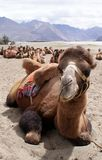 Close up shot of a Bactrian camel at Nubra Valley. Close-up shot of a Bactrian camel, relaxing in Nubra Valley, Ladakh Royalty Free Stock Photo