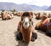 Close-up shot of a Bactrian species of double humped camel. Close-up shot of a Bactrian species of a double humped camel in Nubra Valley, domesticated for Stock Photos