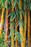 Bamboo close up. A close up of shot of bamboo growing in tropical botanical gardens royalty free stock photos