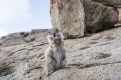 Barbary ground squirrel sitting on rock while holding food in paws and looking at camera. Close-up shot of barbary ground squirrel sitting on rock while holding Stock Images