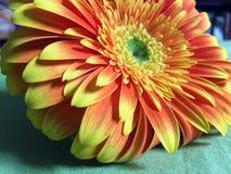 Close-up shot of a beautiful barberton daisy gerbera with yellow-orange petals. Lying on the table stock photo