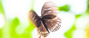 Close up shot of beautiful brown butterfly in flight stock photography