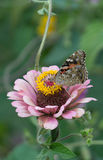 Close-up shot of a beautiful butterfly on a pale pink flower. Close-up shot of a beautiful butterfly on pale pink flower with little yellow pestles like Stock Image