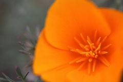 Close-up shot of beautiful California golden poppy flower Royalty Free Stock Photography