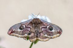 Close up shot of a beautiful Emperor Moth.  Royalty Free Stock Image