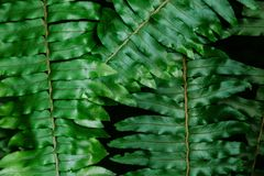 Close-up shot of beautiful fern leaves. For background Stock Images