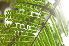 Close-up shot of beautiful fern leaves in front of. Sun flare Royalty Free Stock Photography