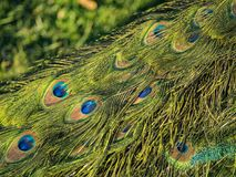 Close up shot of the beautiful peacock feathers Stock Photo