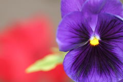Close-up shot of beautiful violet purple pansy flower Royalty Free Stock Photography