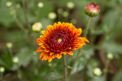 Close Up Shot Of Beautiful Yellow And Red Color Mix Chrysanthemum Flower. stock photos