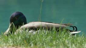 Duck on Grass near Lake. Close up shot of a beautifull duck in grass near pond stock video footage