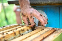 Close up shot of beehives in apiary. Honey bees on the hand of a senior beekeeper working in his apiary royalty free stock images