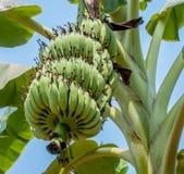 Close up shot of a big  Banana tree. Close up shot of a Banana tree with a bunch of bananas Stock Images